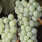 Sauvignon<br>Blanc
